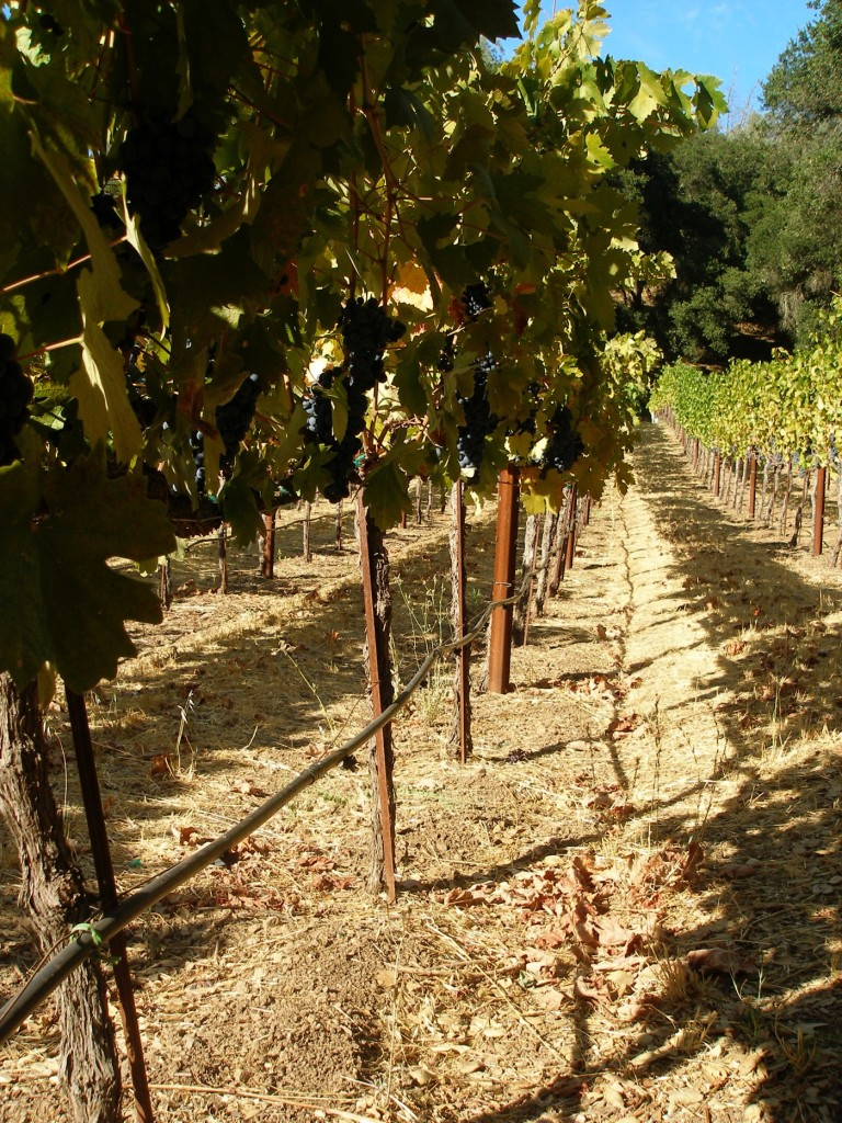 where i was born, and later worked as a harvest intern - green and red vineyards in st. helena CA